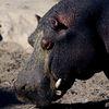 Un hippopotame en balade depuis plusieurs jours dans la banlieue du Cap a échappé aux agents municipaux