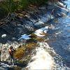 Inquiétante mortalité de poissons dans le Doubs et la Loue