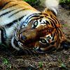 La police vietnamienne a indiqué aujourd'hui avoir saisi les carcasses de trois tigres