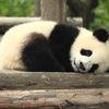 Une semaine après sa naissance, un bébé panda est mort dimanche