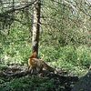 Vidéo d'un renard