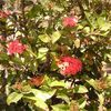 Ixora,Jungle flame