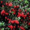 "le crinodendron ""hookerianum """