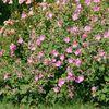 Envie de fleurs roses