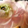 Fleur de Rosine