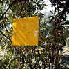 tratamiento ecologico de la mosca del olivo