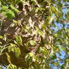 le frelon asiatique , mise à jour