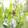Spy in a cornfield