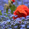 Poppys and Forget-me-nots in the rain