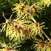 Hamamelis, l'arbuste aux fils d'or