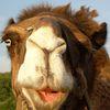 Brève d'Allemagne 3: chameau!