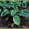 Hosta Great Arrival