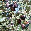 Mon fruit noir