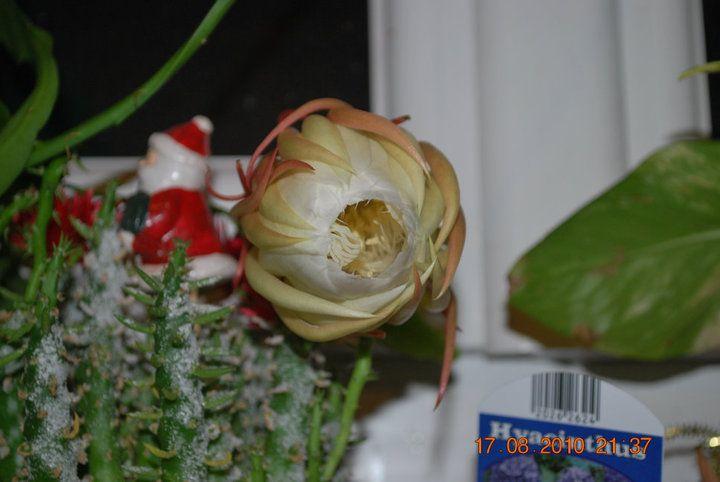 Epiphyllum oxypetalum, l'Epiphyllum à large feuilles, est une espèce de plantes épiphytes appartenant à la famille des Cactaceae. C'est une espèce remarquable d'Epiphyllum.En chinois, on l'appelle 昙花一现 (tanhua yi xian) qui signifie «