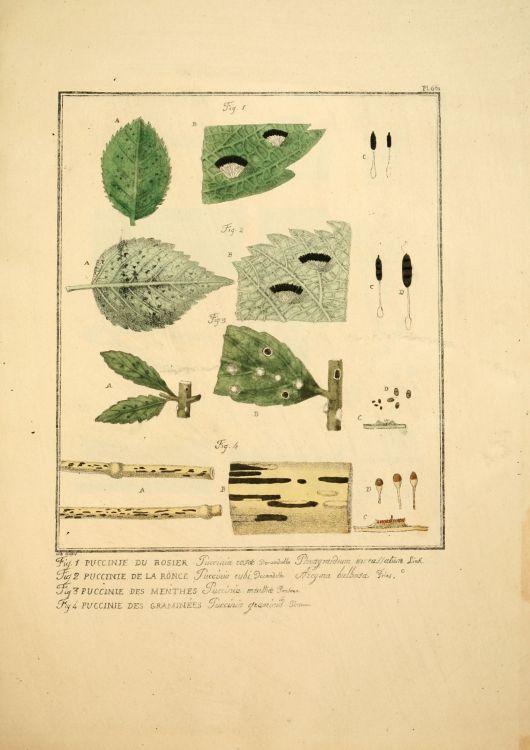Gravures anciennes en couleur de champignons