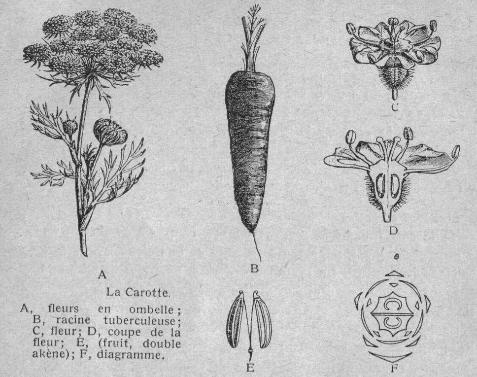 Dessins pour l'enseignement de la botanique dans les écoles primaires. Tirés de livres anciens.-