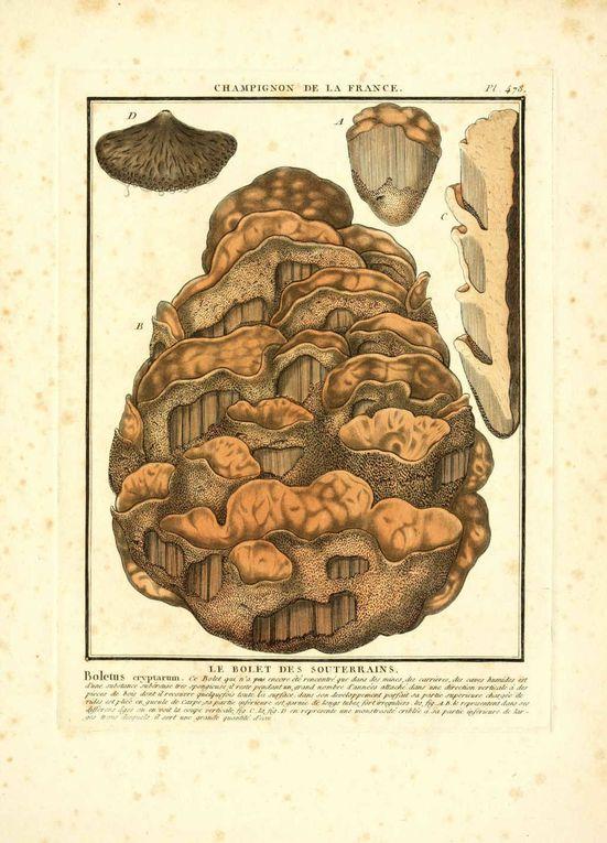Album - Dessins-gravures-de-champignons-