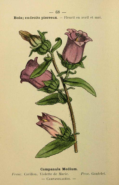 Dessins-gravures anciens en couleur de fleurs et plantes de la région méditerranéenne-