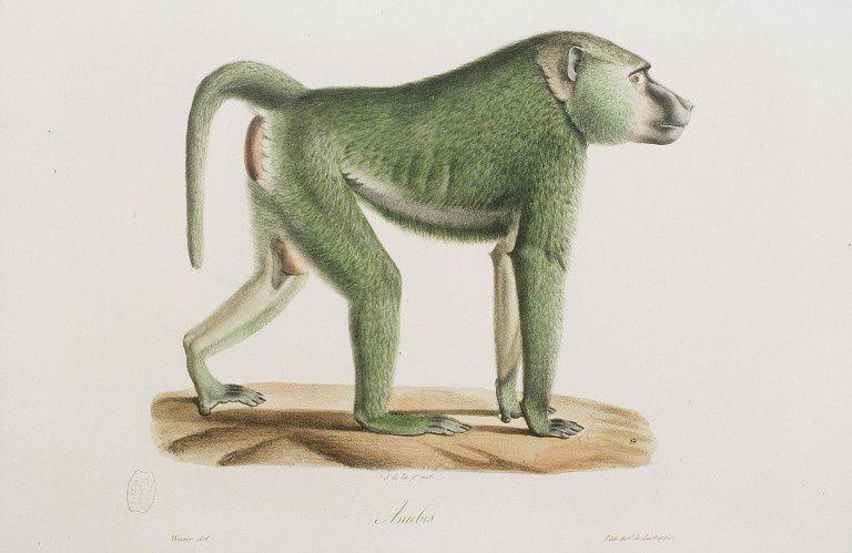Gravures anciennes en couleur de singes-