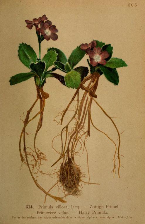 Gravures anciennes en couleur de la flore des Alpes-