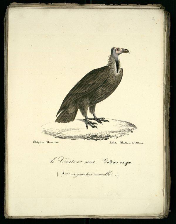 Gravures anciennes en couleur d'oiseaux rapaces-