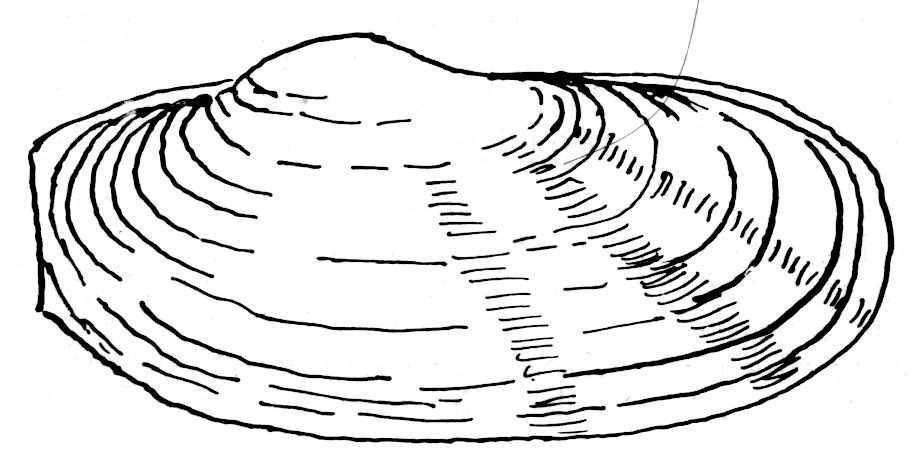 Album - Dessins de poissons, mollusques et crustacés.-