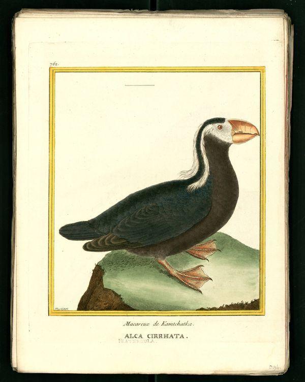Gravures-dessins anciens d'oiseaux tirés de l' oeuvre de Buffon
