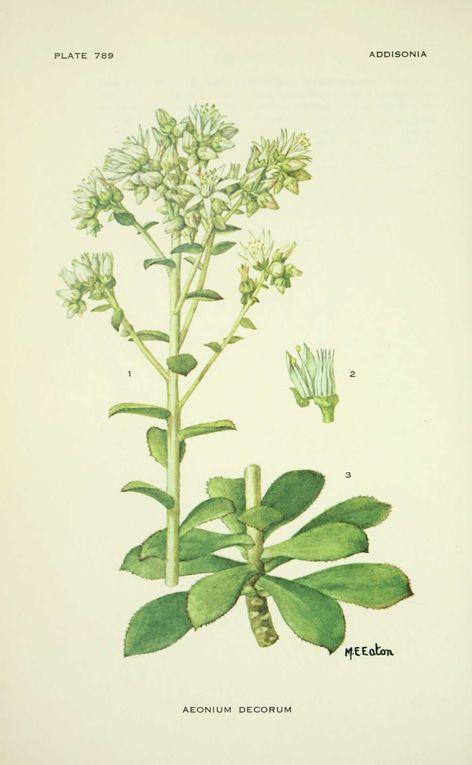 Album - Dessins-flore-addisonia-
