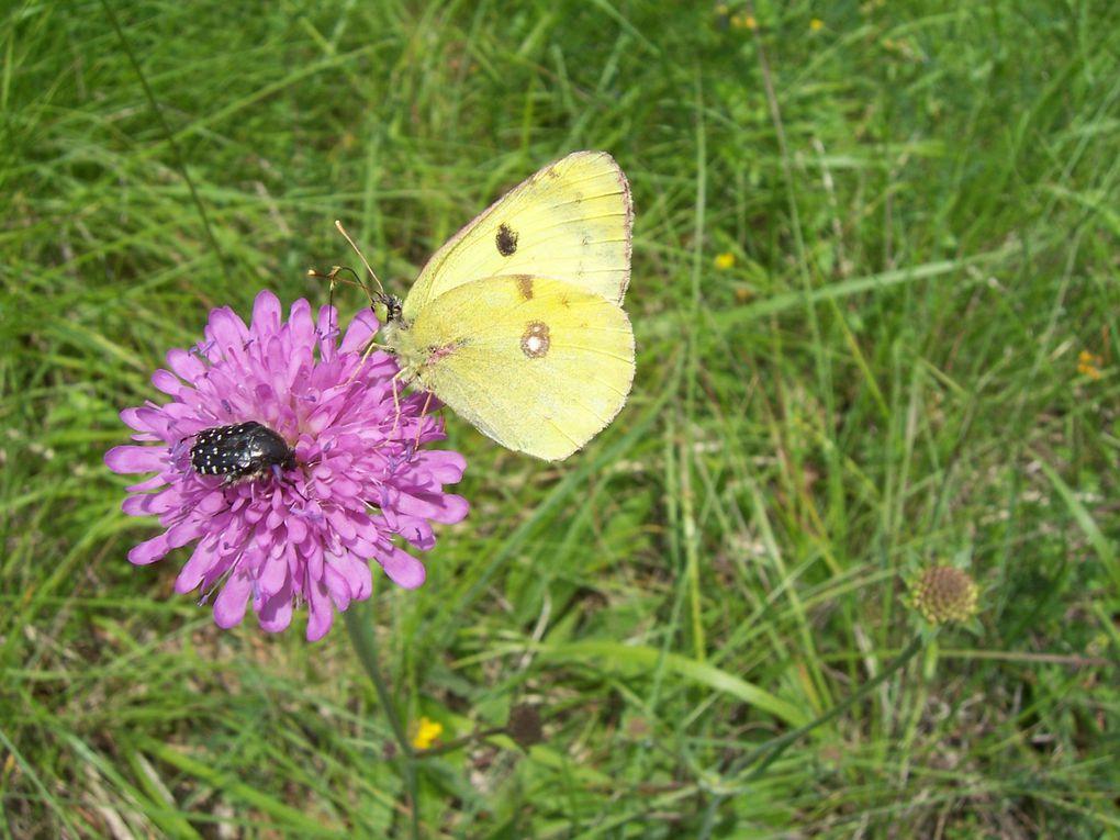 Photos de papillons du sud de la France. Photos personnelles gratuites et libres de droits.