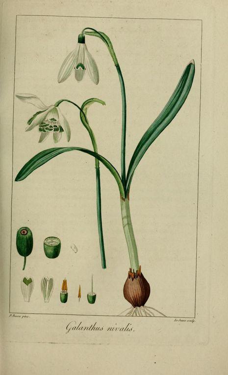 Album - gravures-fleurs-cultivees-1-