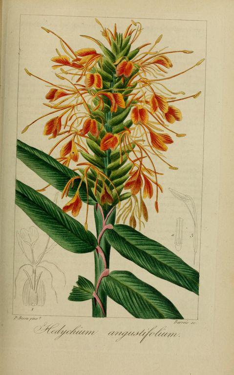 Album - gravures-fleurs-cultivees-2-
