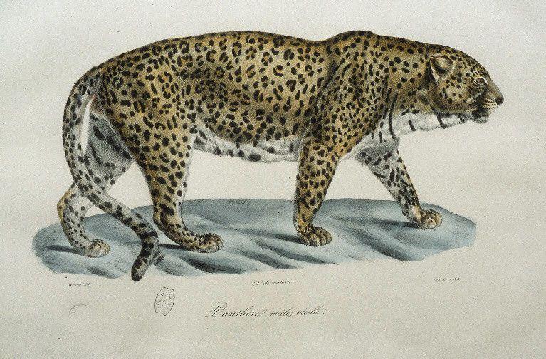 Gravures anciennes de mammifères tirées de Wermer, dess.. [Illustrations de Histoire naturelle des mammifères].http://gallica.bnf.fr