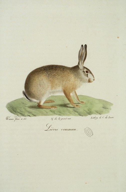 Gravures anciennes en couleur de mammifères tirées de Wermer, dess.. [Illustrations de Histoire naturelle des mammifères].http://gallica.bnf.fr