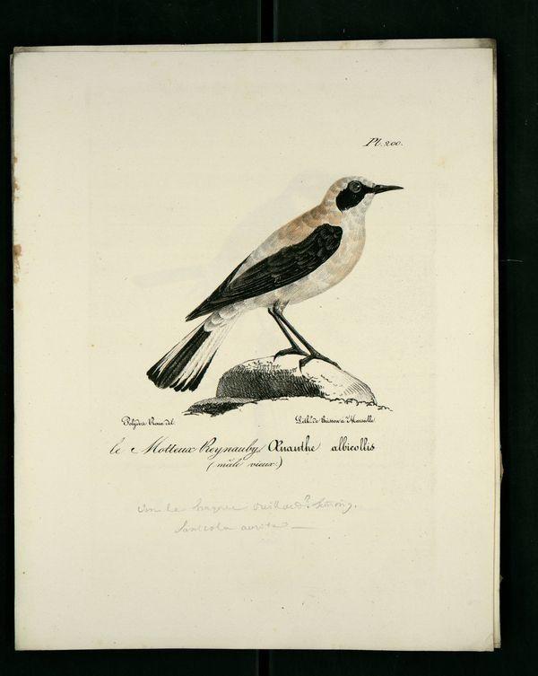 Gravures anciennes en couleur illustrations des oiseaux de Provence