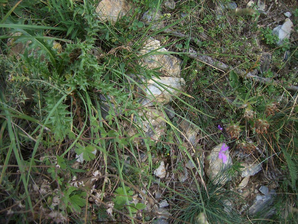 Photos personnelles de plantes sauvages ou des jardins de la Côte d'Azur