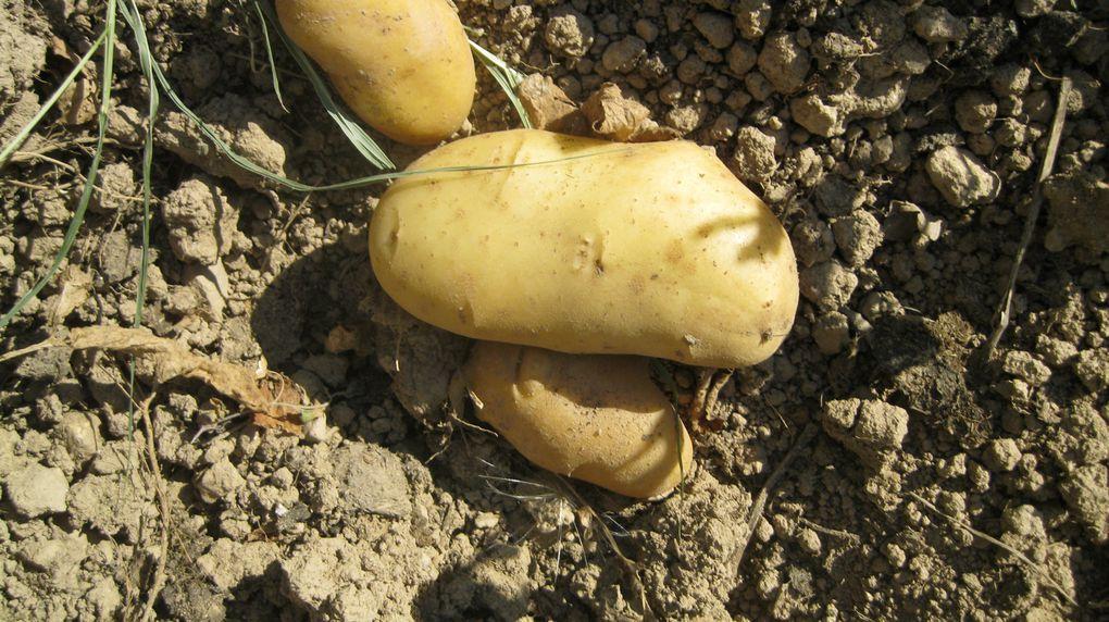 Mes légumes, fruits et plantes diverses cultivés sous serre ou en plein sol sur la Côte d'Azur en moyenne montagne-
