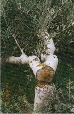 Quelques photos pour montrer comment sont trait&eacute&#x3B;s les Palestiniens. Destructions de leurs maisons au bulldozers, les oliviers coup&eacute&#x3B;s par les colons, les moutons bless&eacute&#x3B;s, empoisonn&eacute&#x3B;s ou tu&eacute&#x3B;s, le ordures et les seaux d'excr&eacute&#x3B;ments laiss&eacute&#x3B;s par la soldatesque dans les maisons qu'ils squattent... voil&agrave&#x3B; la&nbsp&#x3B; vie des Palestiniens, souffrance, humiliations et malheur...