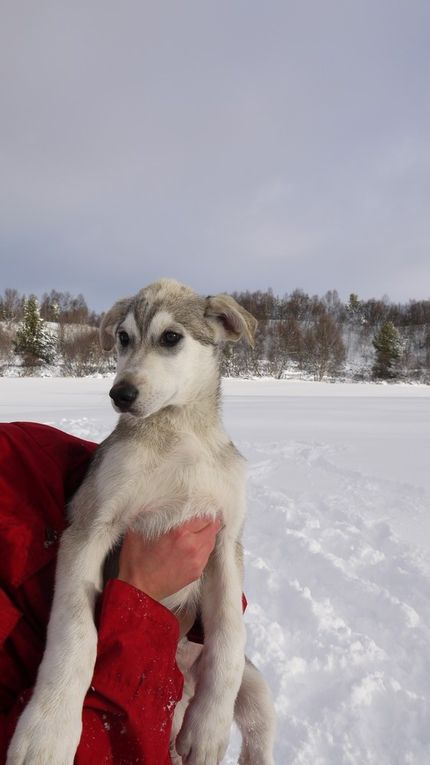 Puppies Daisy-Arctic