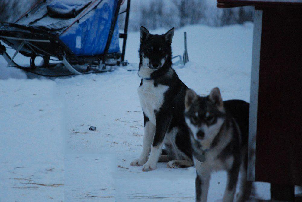 Photos de mes Alaskans Huskies &agrave&#x3B; tous &acirc&#x3B;ges et en tous lieux !