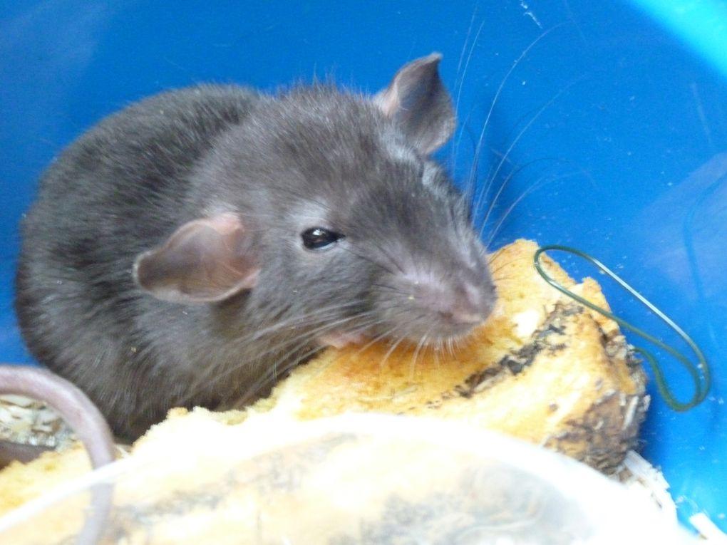 Album - Rats