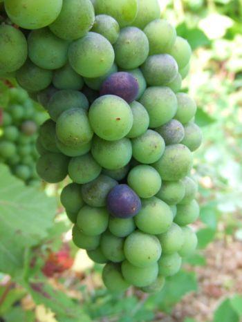 quelques impressions de la vigne, qui montrent notre travail, l'évolution du raisin au fil de l'année, et les traces de nos ennemies...