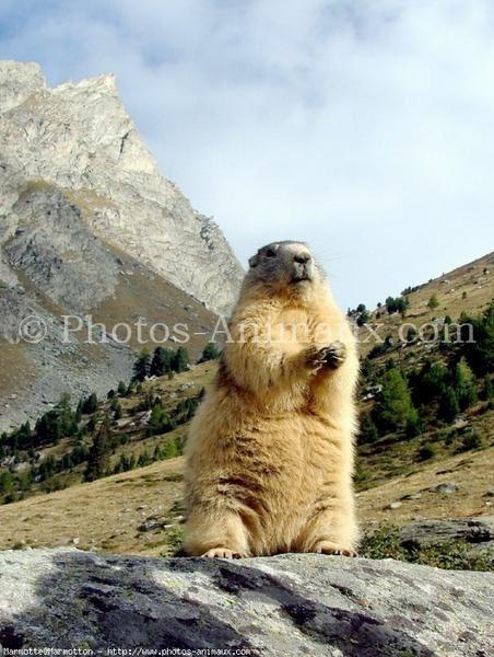 des marmottes en vrai, en chair et à poil !