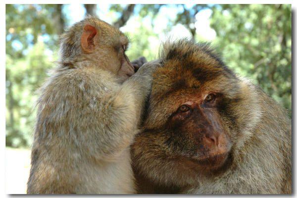 """<p><strong>Forêt des singes, Rocamadour, Lot<br /></strong><a href=""""http://www.maitrepo.com/article-4061375.html"""" target=""""_blank""""><em><strong>-> Lire l'article associé</strong></em></a></p><p></p>"""