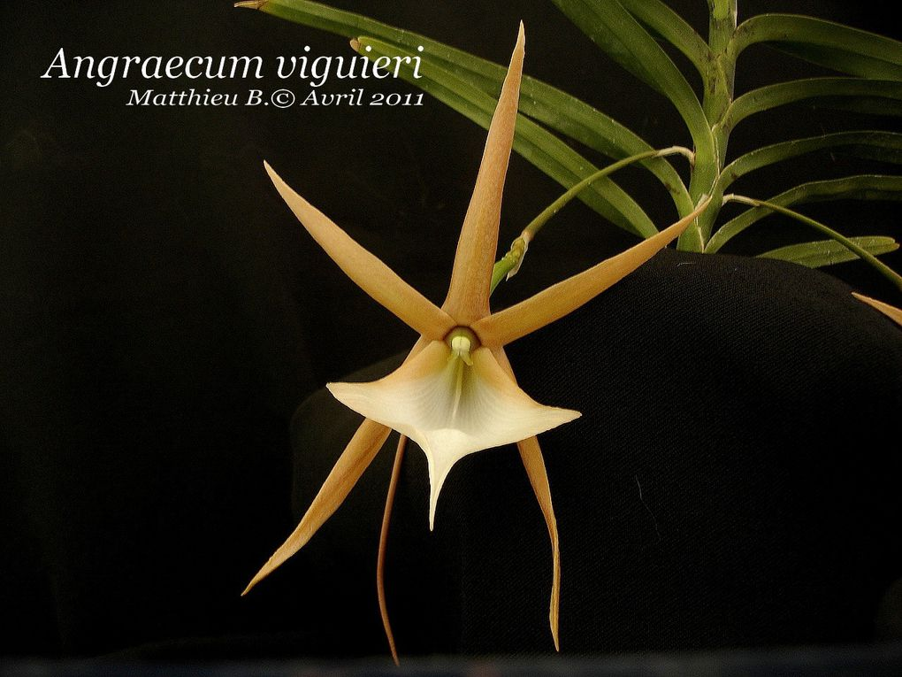 orchidées floraison aerangis angraecum gongora polycycnis masdevallia paphiopedilum dendrobium encyclia phalaenopsis