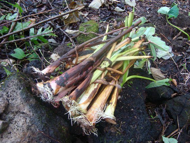 Voici les étapes à respecter quand on plante du taro à Wallis.