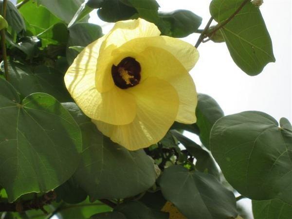 la nature à wallis à travers quelques plantes et fruits qu'on y trouve ...