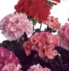 Album - Belles-Fleurs
