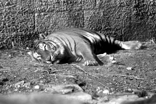 Les animaux du zoo d'Amnéville - Photos Noir et Blanc de Thierry Weber - Photographe La Baule Guérande
