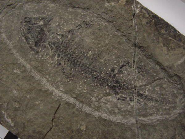 <p>Les amphibiens ne sont pas très fréquents sous la forme fossile.</p><p>Les vestiges retrouvés sont les ossements, les squelettes complets, et des traces de pas.</p><p>Bonne visite !</p><p>Phil « Fossil »</p>