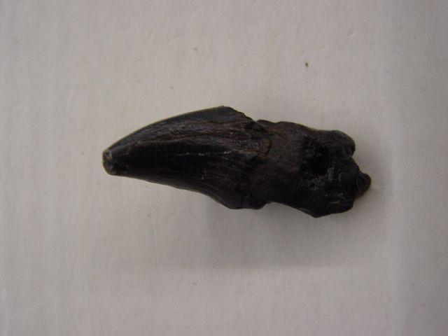 <p>Album des restes de mammifères néogènes d'Anvers.</p><p>Ce répertoire présente les ossements, dents, rochers et autres restes de cétacés, pinnipèdes et autres.</p><p>Tous ces fossiles proviennent de notre collection personnelle.</p>